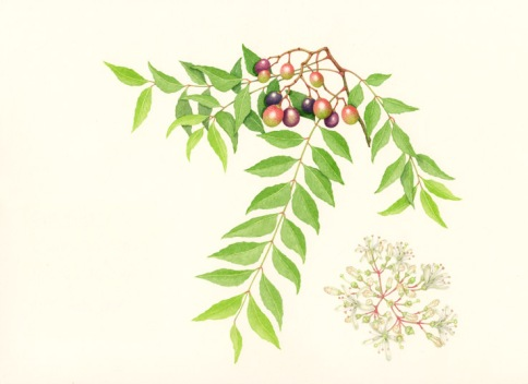 Curry Tree watercolour