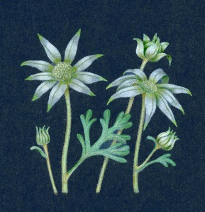 Flannel flowers 1