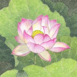 Lotus enlighten 100 lo-res